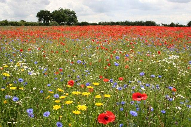 Wildflower_meadow_-_geograph.org.uk_-_473354