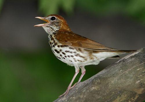 Birdsinging6