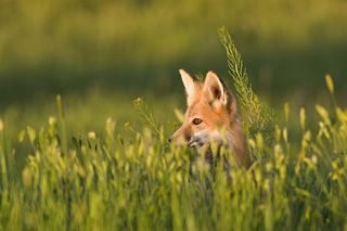 Red-fox-2-gallery