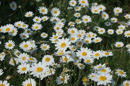 1024px-Daisies_at_Ventnor_Botanic_Garden